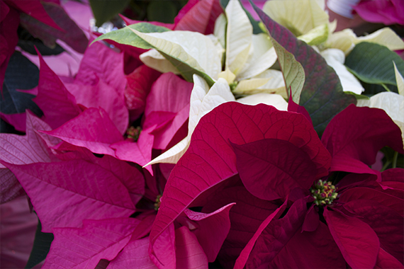Upclose image of poinsettias in three colors - white, pink and red